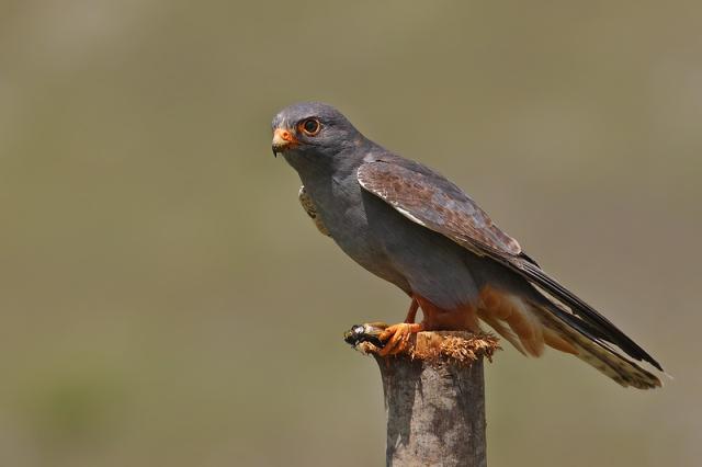 falco-cuculo-di-catalani