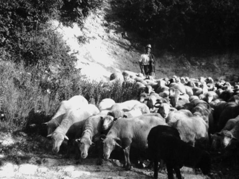 pecore 5